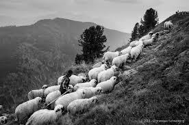 shepherd 14